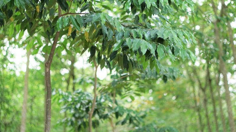 cây Dó Bầu (Trầm Hương)