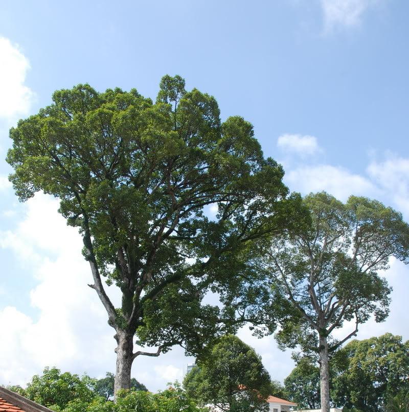 cây dầu rái