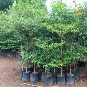 cây bàng đài loan, bàng lá nhỏ cây giống 4s