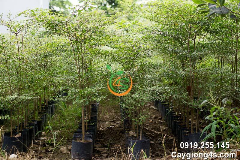 cây bàng đài loan (bàng lá nhỏ)