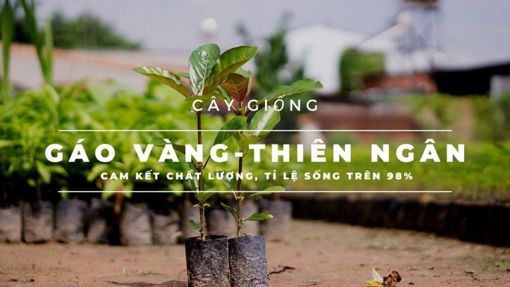 cay-gao-vang-giong
