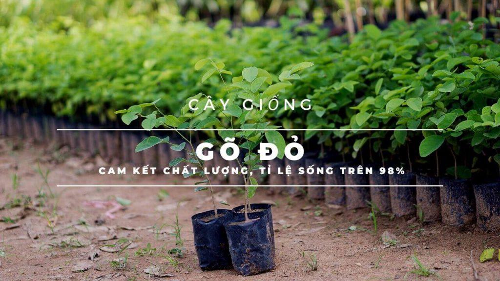 cay-giong-go-do