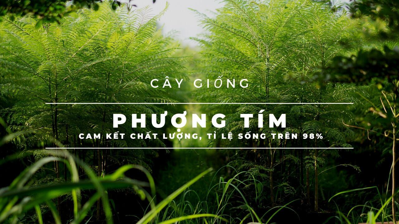 cay-phuong-tim-giong