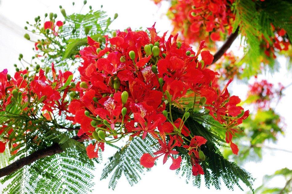 cay phuong vi giong hoa