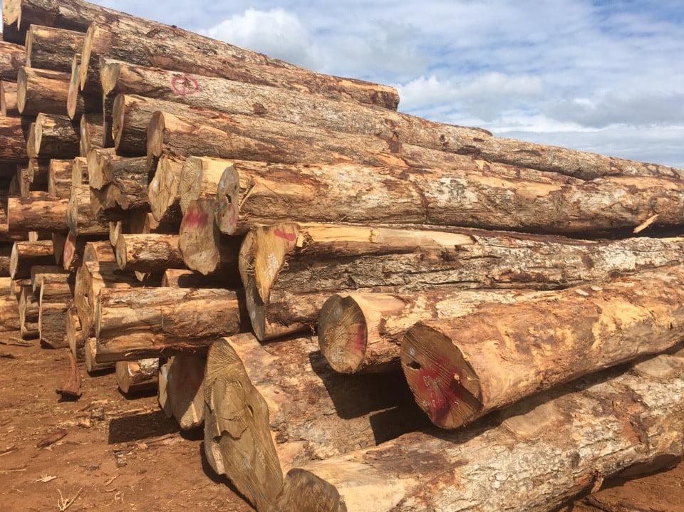 gỗ cây gáo vàng thái lan