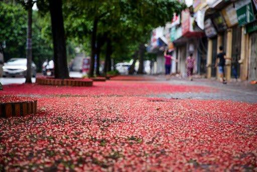 thảm hoa cây lộc vừng