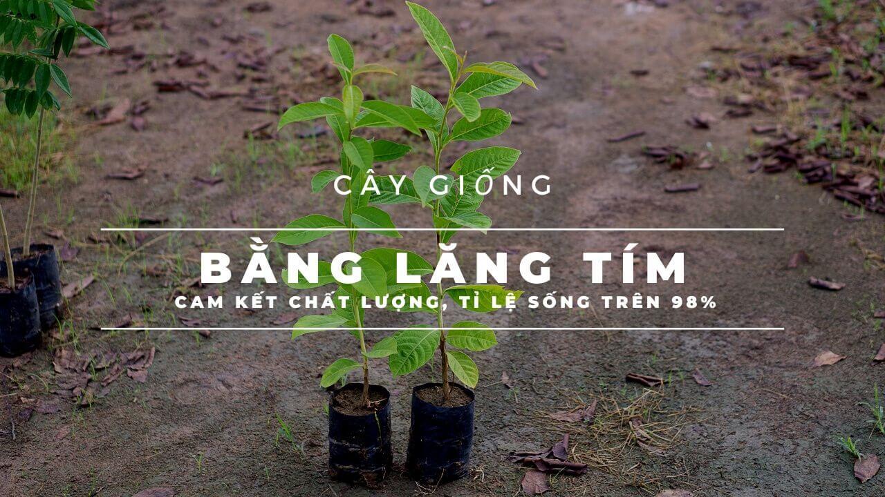 cay-bang-lang-tim-giong