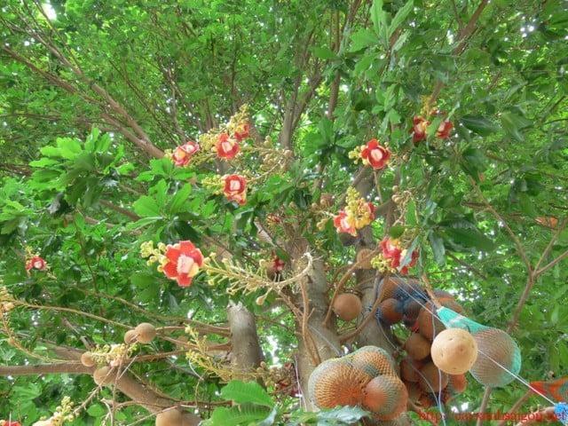 hoa va trai thala
