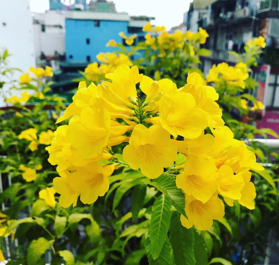 Hoa-cay-chuong-vang