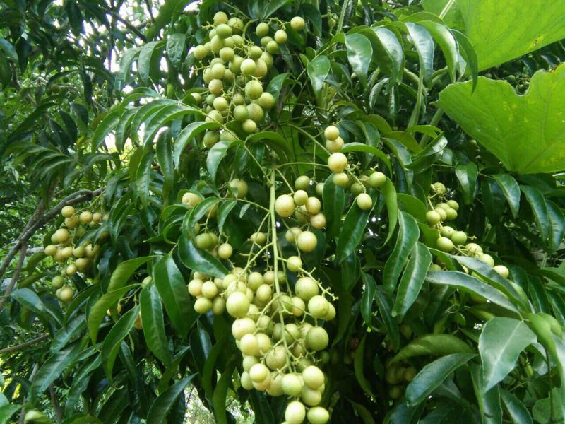 cây mắc mật