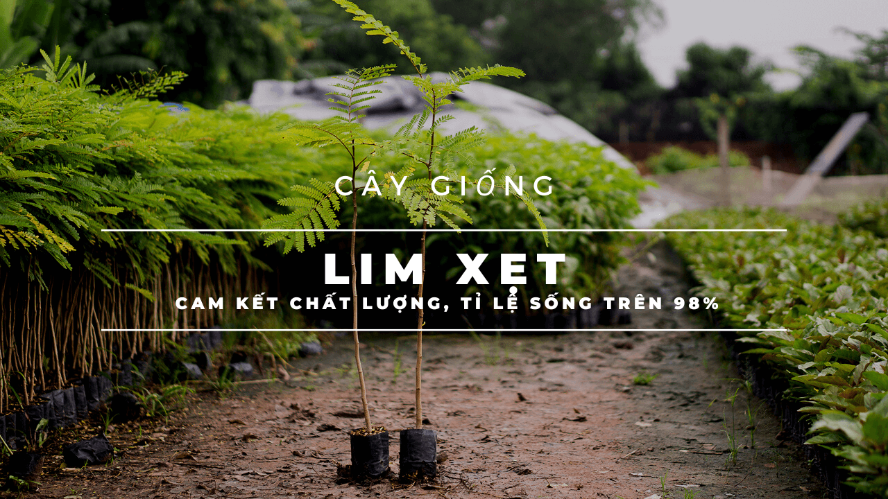 lim-xet-giong