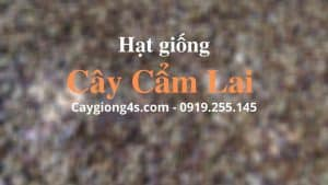 hat-cay-cam-lai-giong