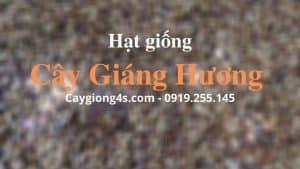 hat-giang-huong-giong-gia-re