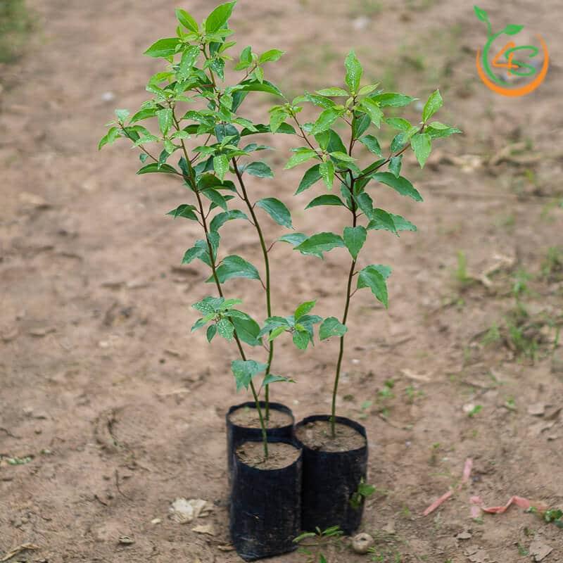cây long não, cây dã hương giống giá tốt cây giống 4s