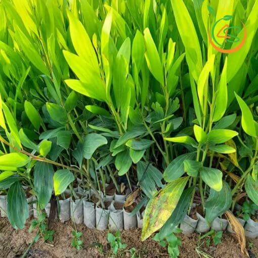 Phuong-phap-trong-cay-rung-phong-ho (1)
